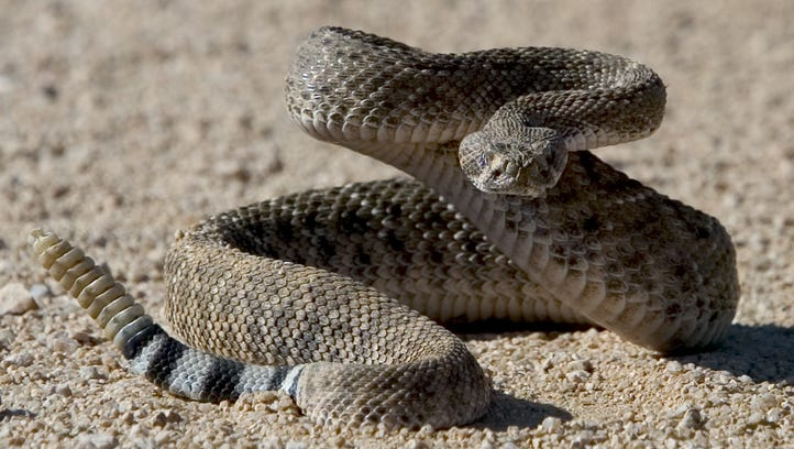A Diamondback Rattlesnake holds it's ground and goes