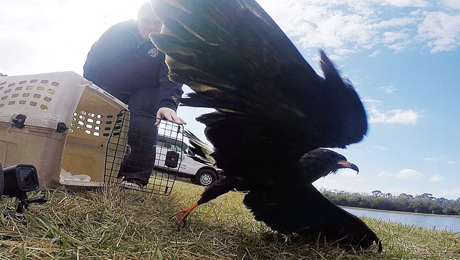 From a  screenshot from a GoPro, Dr. Robin Bast, A Clinic for the Rehabilitation Veterinary intern releases an endangered male snail kite at Harn's Marsh in Lehigh Acres on Monday.
