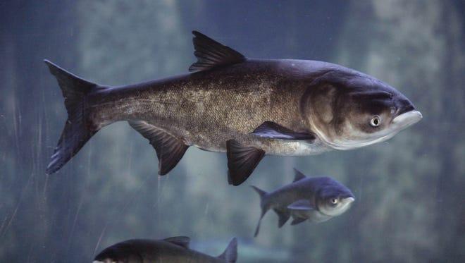 In this Jan. 12, 2010 file photo, Asian bighead carp swim in an exhibit at Chicago's Shedd Aquarium.