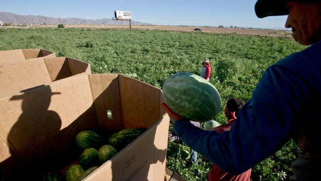 Migrant workers harvesting watermelons in 2013 on Northern Avenue at Delgado farms.