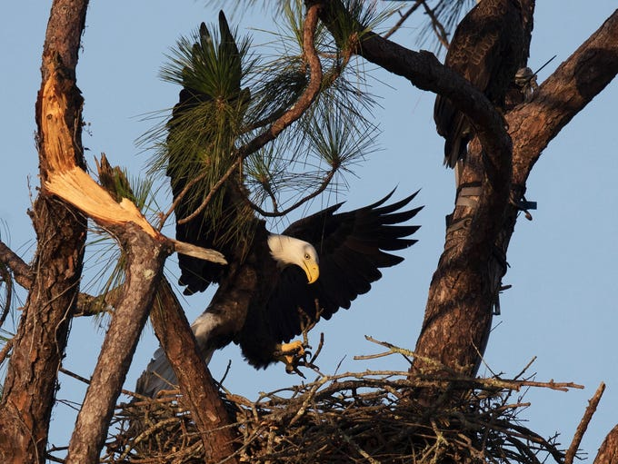 One of the bald eagles from the eagle cam nest at Dick
