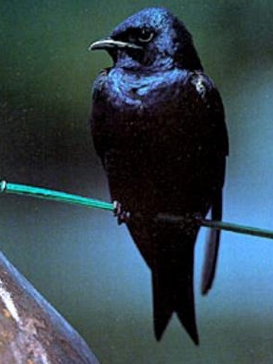 adult male purple martin.png
