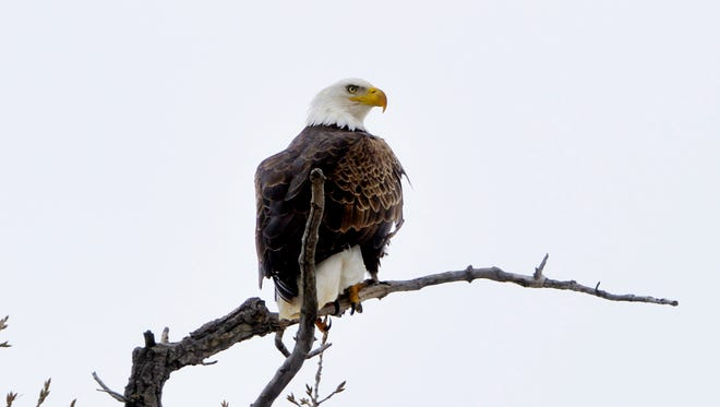 A bald eagle perched on a cotton wood tree overlooking the Missouri River near Broadwater Bay.