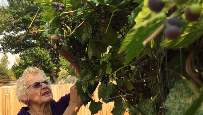Barbara McFarlane checks out the grapes growing in her garden.