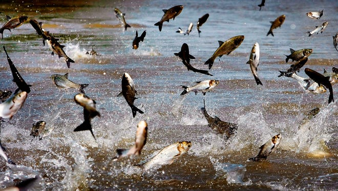 On May 10, 2011, jumping Asian Carp feed off the muck filled floodwater off President's Island in Memphis, Tenn.