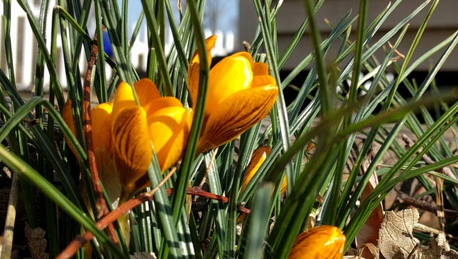 Crocus blooms Saturday in Manchester Township.