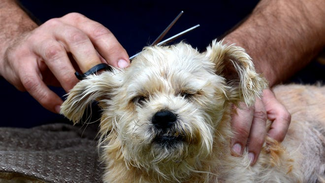 Thomas Simon cuts the hair of his 14-year-old shih tzu and mini German terrier mix Buzz Lightyear, Monday May 16, 2016 at his home in Lansing. Simon said he has to regularly cut his dogs hair because the dog, who is mostly blind and has suffered a stroke, will think he has fleas if he's unable to nuzzle and feel his body with his snout.