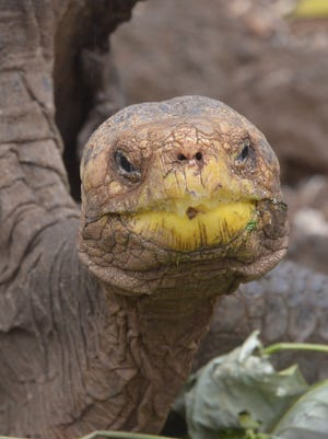 Diego, a tortoise of the endangered Chelonoidis hoodensis subspecies from Española Island, is seen in a breeding center at the Galapagos National Park on Santa Cruz Island.