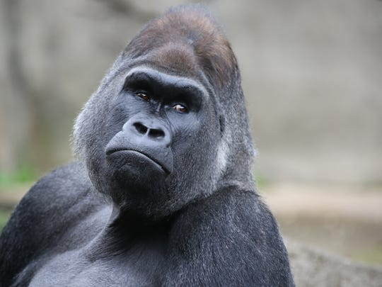 Jomo is a silverback, western lowland gorilla at the Cincinnati Zoo and Botanical Garden. He's dad to many, including Mona, 2 and Elle, who was just born in August. Both babies are part of the zoo's annual Zoo Babies.