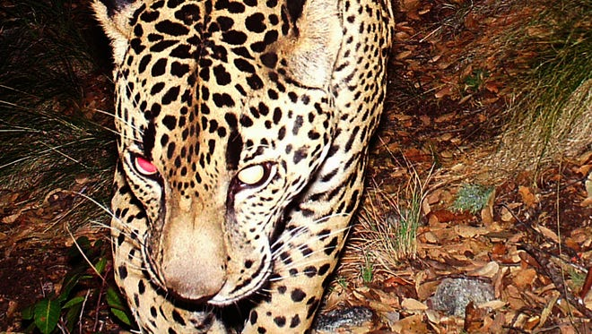 """Three trail cameras filmed the jaguar """"El Jefe""""  roaming in the Santa Rita Mountains in 2011. The Center for Biological Diversity now plans to the sue the U.S. Fish and Wildlife Service for allowing plans to move ahead for a mining operation within the jaguar's critical habitat."""