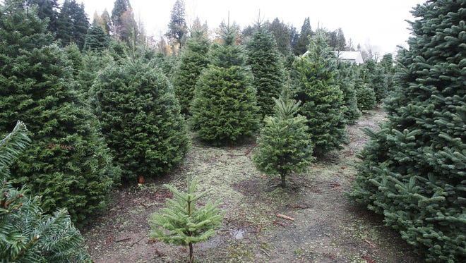 Palmer's Tree Farm opens up the day before Thanksgiving at their farm northeast of Salem at 4716 Poinsettia St. NE.