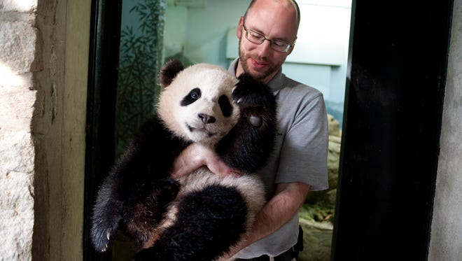 Animal keeper Marty Dearie of Bowie, Md., holds 8-month-old giant panda cub, Bao Bao, in the panda house after waking her up for the day.