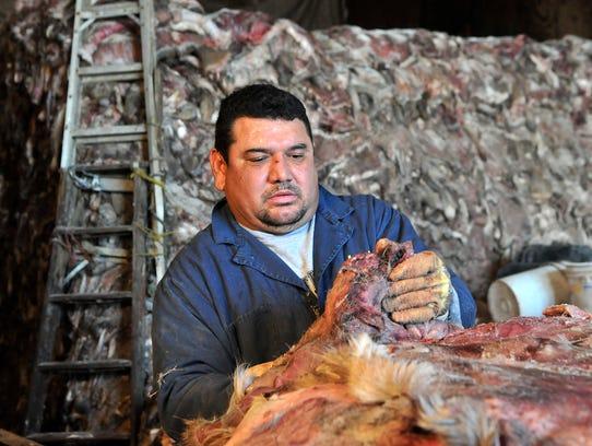 Armando Gonzalez of Willmar cut the tails off deer