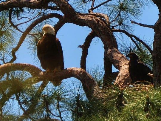 Bonita Springs is discussing how to protect a bald eagle nest from curious human visitors.