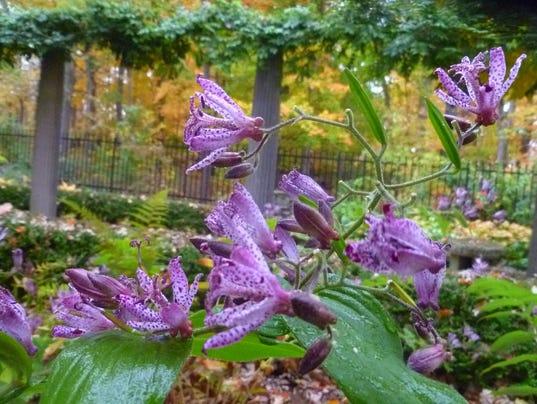 Get-Up-and-Grow-Tricyrtis-Sinonome-