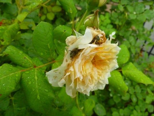 636045235894454672-beetles-on-rose.JPG