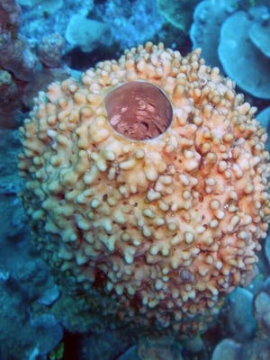 A hard coral in the waters around Guam. The U.S. Coral Reef Task Force will meeting in Saipan and Guam next week to discuss strategies and successes.