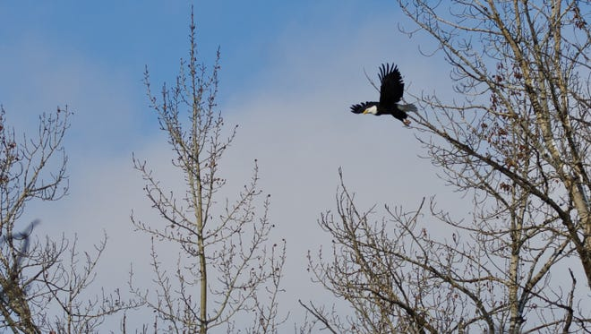 Bald Eagle Taking to Flight Among the Winter Trees