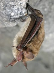 A northern long-eared bat perches in a cave in this undated photograph by New York-based wildlife biologist Al Hicks.
