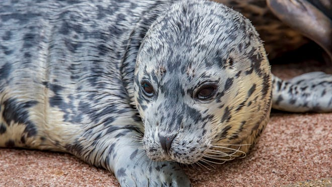 The Milwaukee County Zoo's baby seal checks out its environment.