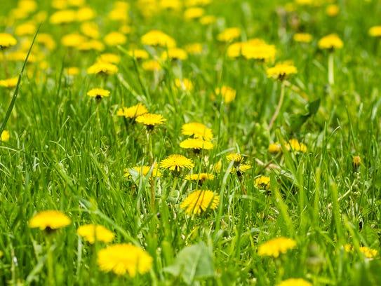 The National Honey Board said bees love dandelions.