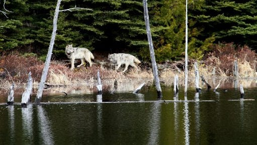 In this February 2012 file photo provided by George Desort, two gray wolves walk in the Isle Royale National Park in Northern Michigan. The national park's wolf population has fallen to eight, lowest since the 1950s, and scientists are debating whether to do anything about it.