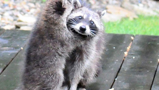 A baby raccoon hugs its mother on a deck.