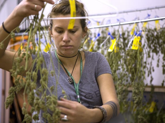 Krista Ranking trims marijuana buds at Infinite Wellness Center medical and retail marijuana shop in Fort Collins.