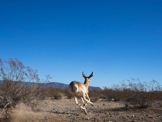 A pronghorn antelope dashes through Cabeza Prieta National
