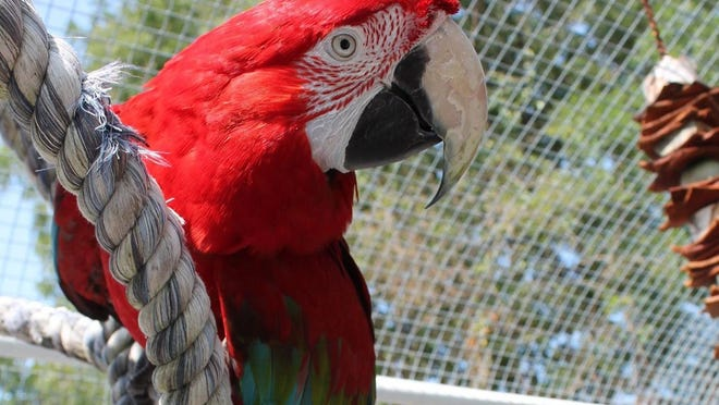 Merlin, a green-wing macaw, is available for adoption through Rhode Island Parrot Rescue.
