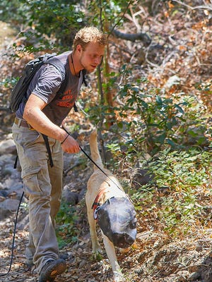 In this Aug. 10, 2017, provided by The Nature Conservancy photo shows Ky Zimmerman and his labrador Tobias search for nests of Argentine ants on Santa Cruz Island off the coast of Southern California. The dog is wearing a mask is to protect from foxtails, a grass seed that can get into his eyes, nose or mouth. Tobias searches for nests of the invasive species of ants that threatened the ecosystem after being introduced decades ago.