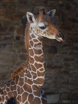 This June 28, 2017 file photo provided by The Maryland Zoo shows a baby giraffe, Julius, in Baltimore. The Maryland Zoo says the young giraffe calf has died.