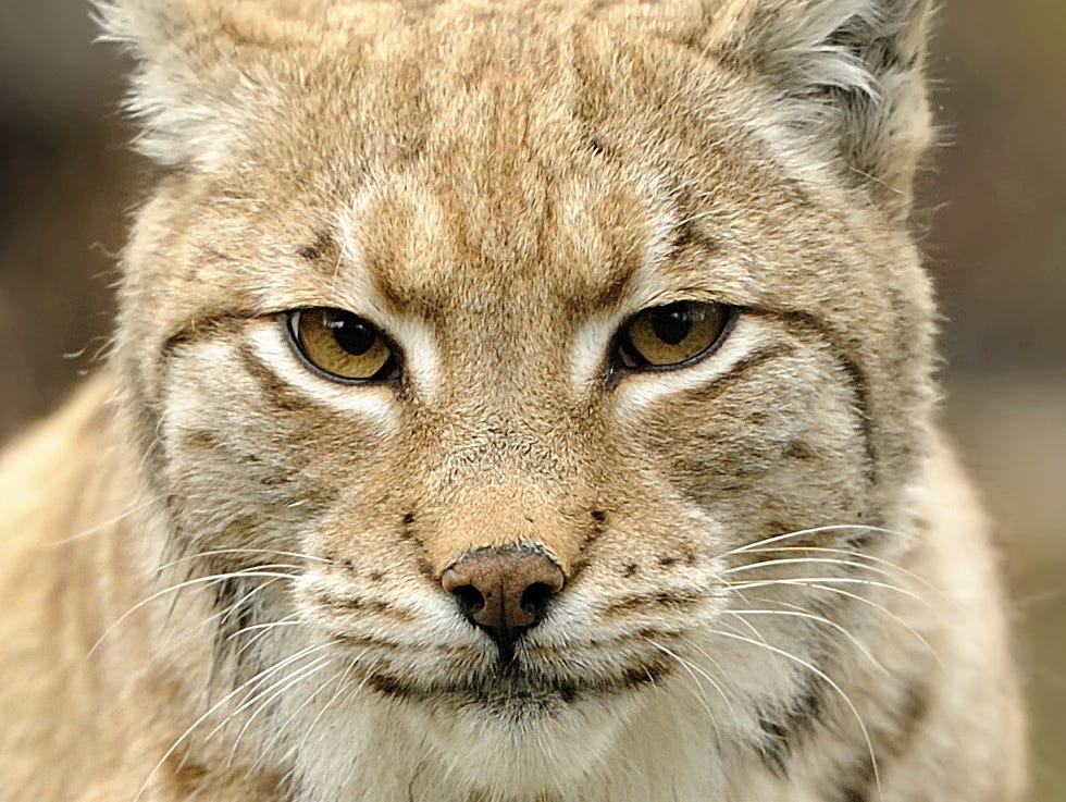 Flippin Bobcats