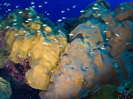 AP_Endangered_Coral.1