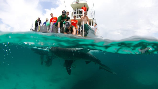 A bull shark is pulled toward a boat for sampling and measuring during a shark tagging expedition off Islamorada in the Florida Keys, Aug. 7, 2013.