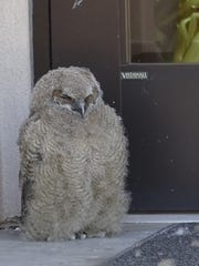 One of two great horned owl babies raised on a ledge