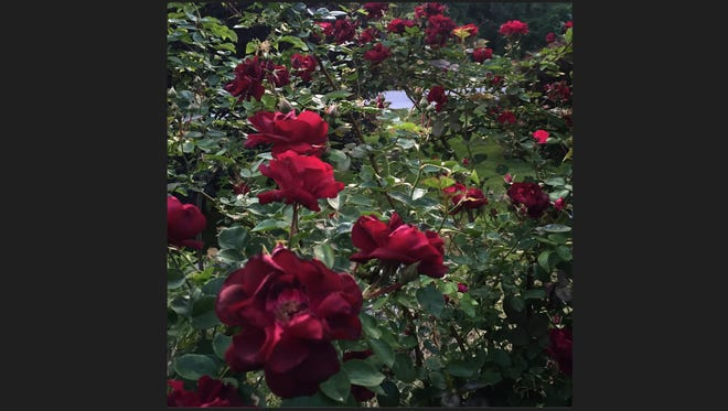 Protect those rose bushes by mulching around the graft.