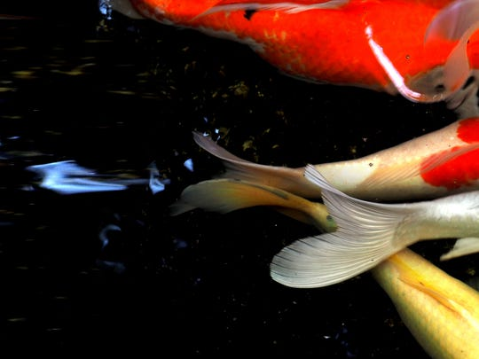 Koi ponds are a fixture of Japanese gardens.