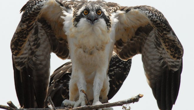 This juvenile osprey and other birds will benefit from Duke Energy installing bird friendly power lines.