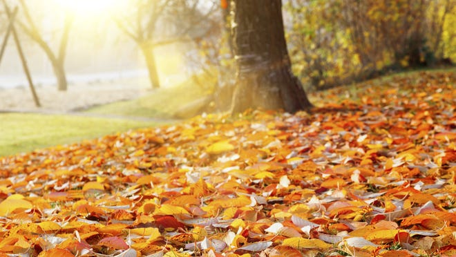 Thinkstock.com For gardeners, colorful autumn leaves are one rainbow with a real and tangible pot of gold at the end of it. Fall leaves in the autumn tree in the park