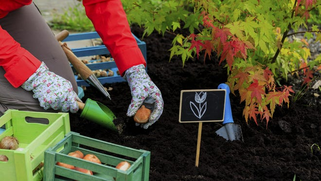 It's that time of the year to plant tulip bulbs.