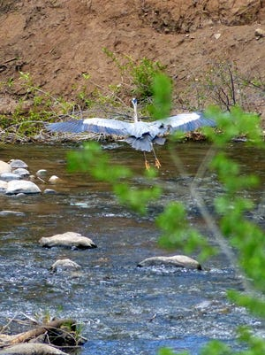 The heron takes off for a better spot.