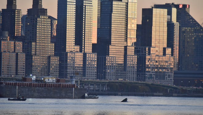 A whale breaches in The Hudson river as seen from Edgewater, NJ on November 18, 2016.