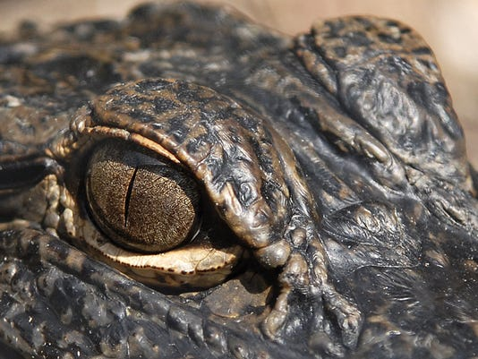 WILD ART Gator eye