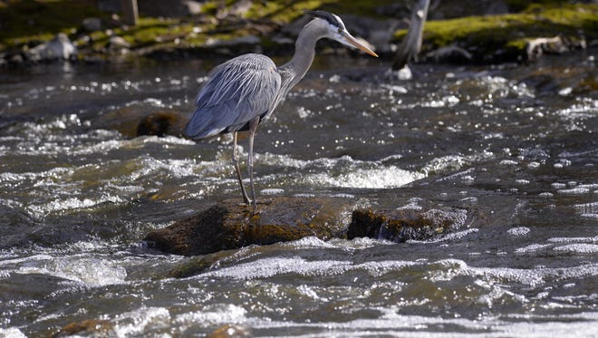 A Great Blue Heron searches for fish from a rock on the Grand River in Eaton Rapids.