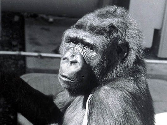 A scene from the motion picture KOKO a Talking Gorilla.