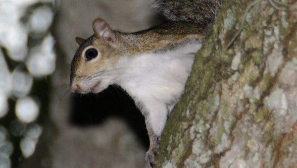 Healthy, fat squirrels, the Eastern Gray Squirrel in this instance, can do a lot of damage to a vegetable garden or landscape. The best advice is either accept the damage or exclude them from the area to prevent further damage.