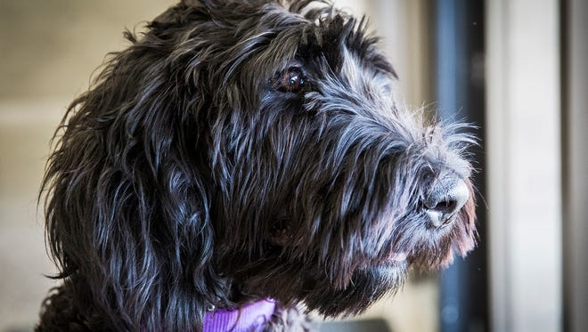Central High School's new therapy dog, Merlin, has soft, wavy, low-shedding hair said to be hypoallergenic.