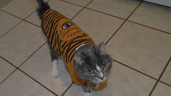 Reversala looks quite beautiful in her tiger-striped Halloween shirt. She lives with JF Richards of Fayetteville, PA.