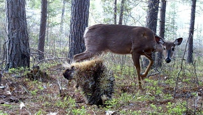 A white-tailed deer and porcupine encounter in Marinette County is captured in this trail cam image submitted by Kurt Dalziel of Wind Lake.